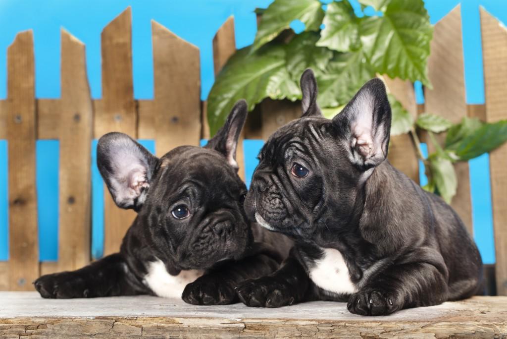 nomi di cani french bulldog