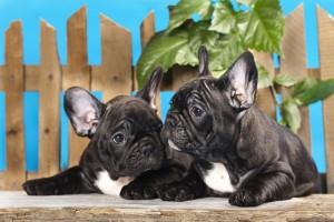 cachorros de bulldog frances