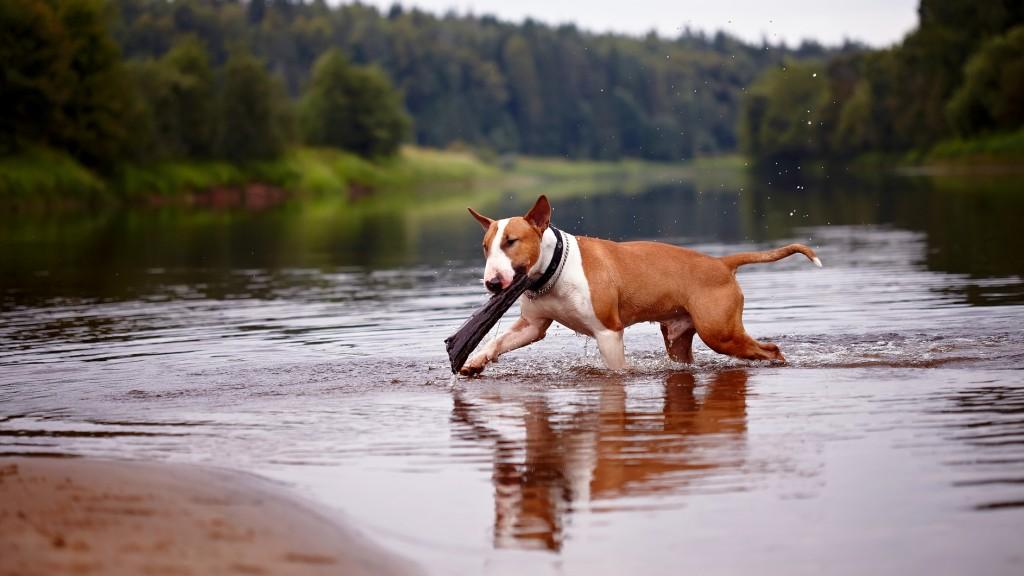 bull terrier cani