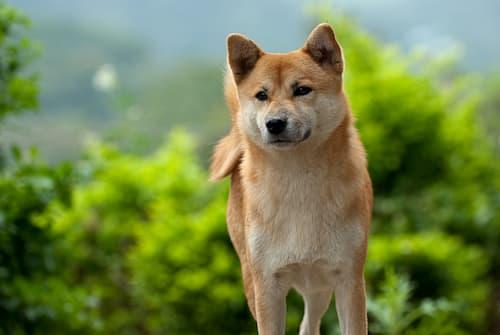Akita Inu cane nel bush