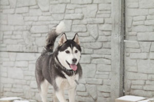nomi per cani husky