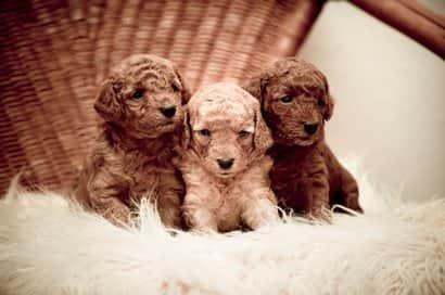 razza di barboncino cani di piccola taglia