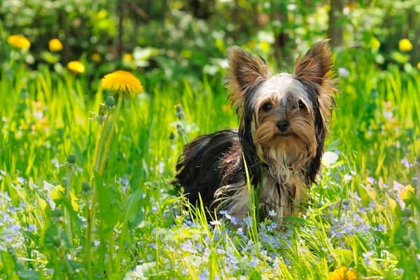 nomi per cani yorkshire