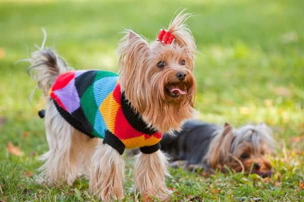 yorkshire femmina con un maglione colorato