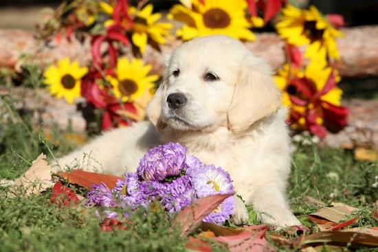 cucciolo d'oro con fiori in background