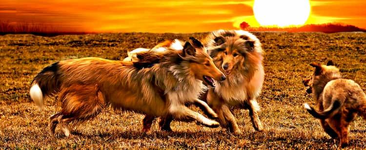 cani coreani nella boscaglia