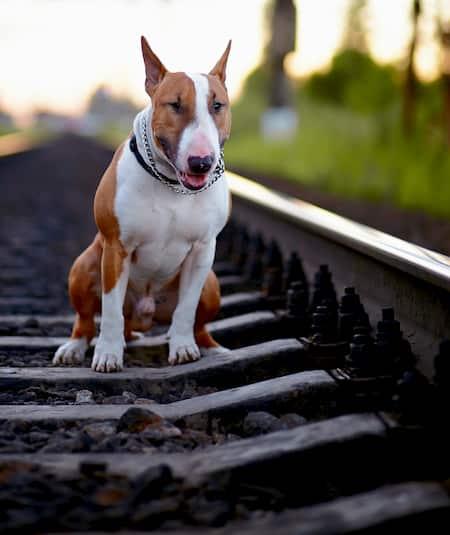 nomi per cani bull terrier