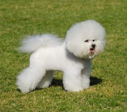 cani bianchi