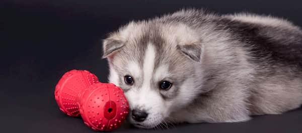 cucciolo maschio husky