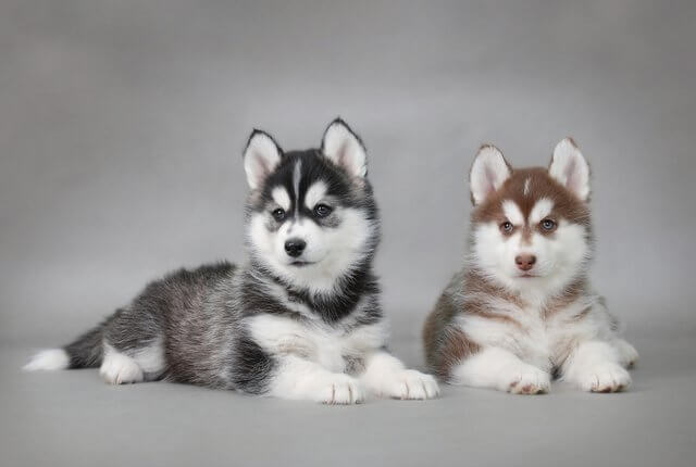 2 cuccioli husky siberiano