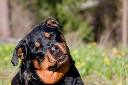 Rottweiler che gira la testa