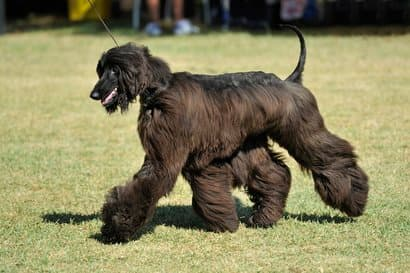 cane maschio nero gigante