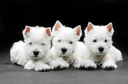 cani bianchi di razza occidentale