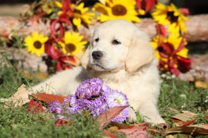 cucciolo di golden retriever con 3 mesi