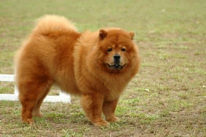 grande cane chow chow