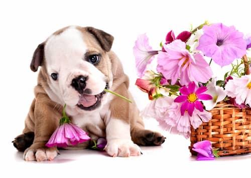 Bulldog inglese accanto al mazzo di fiori