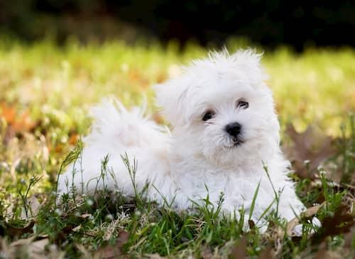 Maltese Bichon cucciolo sdraiato