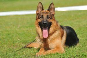 Nomi per cani pastore tedesco