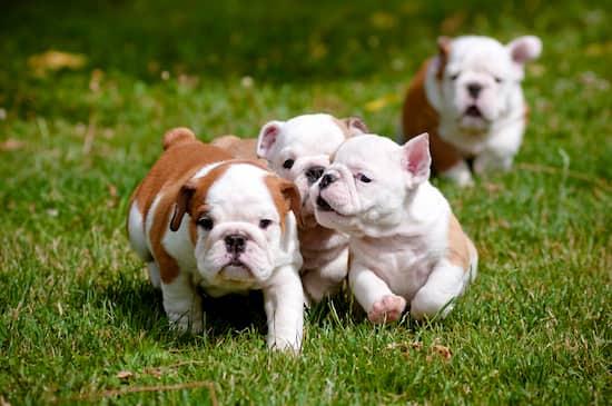 cuccioli di bulldog