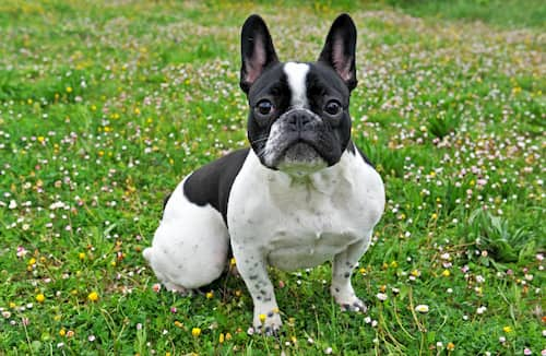 maschio bulldog francese bianco e nero