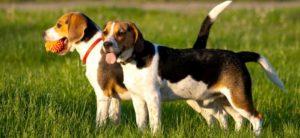 Nomi di cacciatori di beagle
