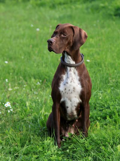 cane da caccia marrone e bianco