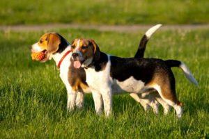 due cani da lepre che giocano nel campo