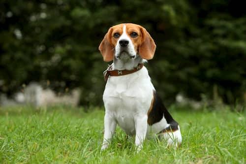 seduta beagle femmina