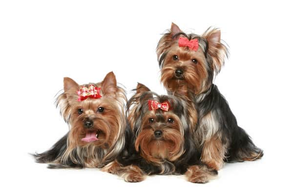 tre adulti dell'Yorkshire terrier