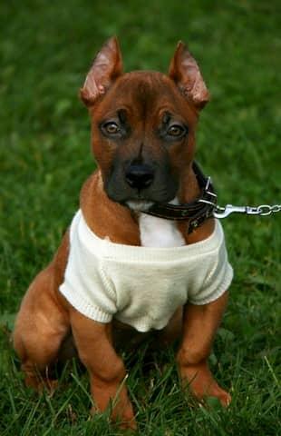 Cucciolo-maschio-di-pitbull-con-maglietta-bianca