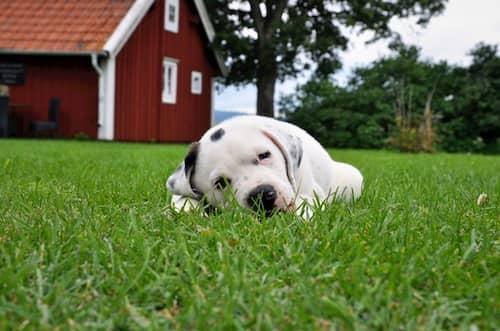 Pitbull-cucciolo-sdraiato-nell'erba